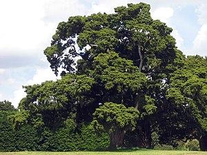 Podocarpus - ''P. totara''