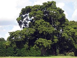 <i>Podocarpus totara</i> species of plant