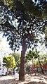 Podocarpus Macrophyllus, Piazza Cavour, Napoli (quarta foto).jpg