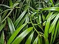 Podocarpus grayae46913704215 8d1b6d8f98 o.jpg