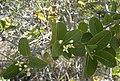 Pogonolobus reticulatus foliage and flowers.jpg