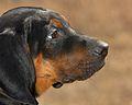 PolishScenthound-AMOR-CnotliwyNos-3miesieczny-wl.Ewa Nowak.jpg