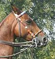 Polo pony Pelham bridle.jpg