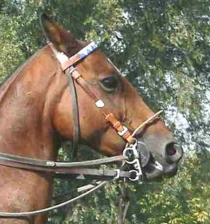 Bit guard - Polo pony wearing a Pelham bit with bit guards