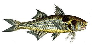 <i>Polydactylus sextarius</i> species of fish