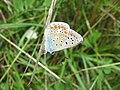 Polyommatus icarus - Virginia-Depot GO12.jpg