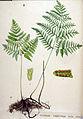 Polypodium robertianum — Flora Batava — Volume v19.jpg