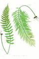 Polypodium vulgare Moore2.png