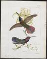 Polytmus porphyrurus - 1820-1860 - Print - Iconographia Zoologica - Special Collections University of Amsterdam - UBA01 IZ19100069.tif