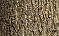Populus trichocarpa Bark (3440743101).jpg