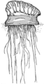 Portuguese man-of-war (PSF).png