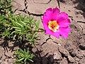 Portulaca grandiflora in Sedovo 001.jpg