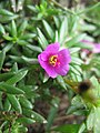 Portulaca pilosa flower2 (17141899387).jpg