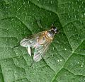 Possibly Small Fleck-winged Snipefly (Rhagio lineola) - Flickr - gailhampshire.jpg