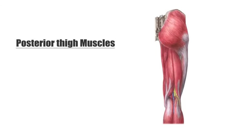 File:Posterior thigh muscles (preview) - Human Anatomy Kenhub 1.webm ...