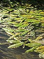 Potamogeton nodosus sl25.jpg