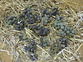 Pressée vin de paille 022.JPG