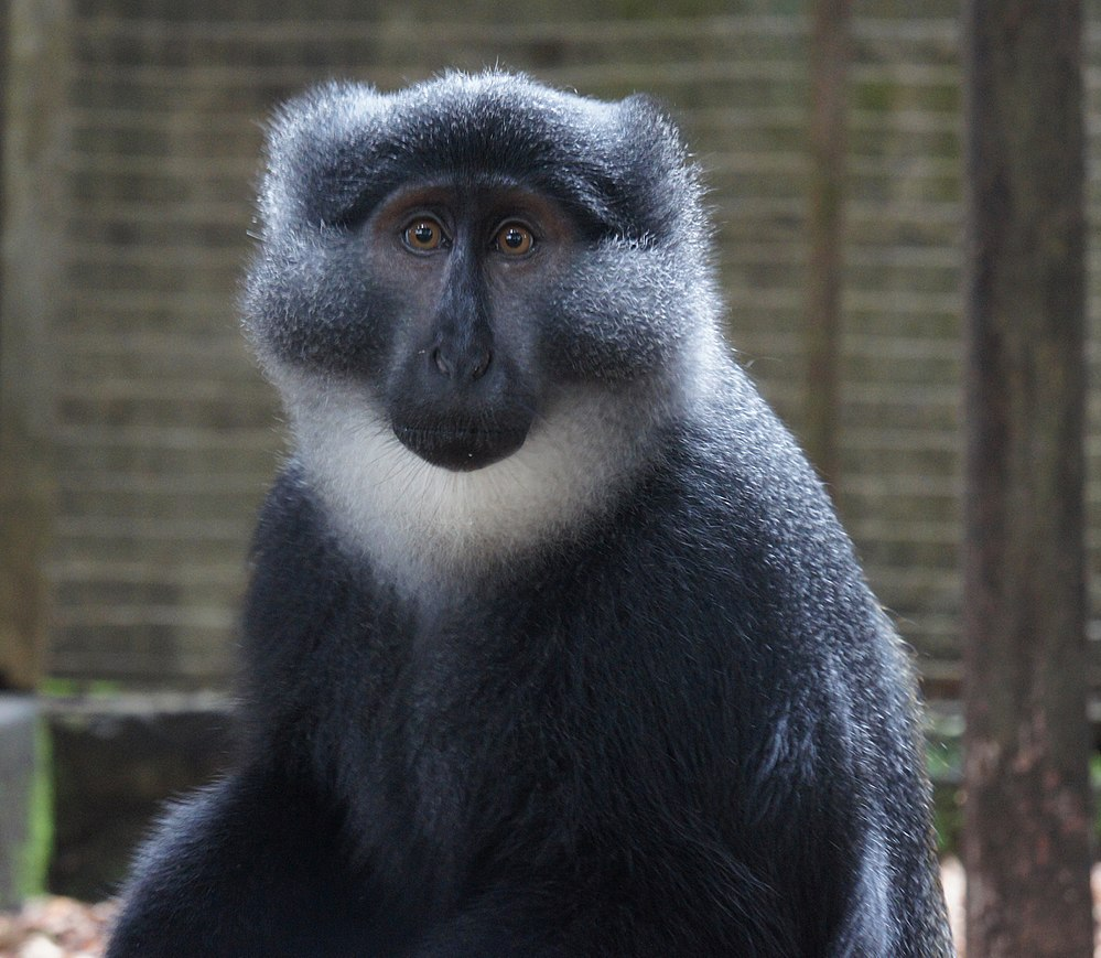 The average adult weight of a Preuss's monkey is 5.14 kg (11.32 lbs)