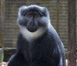 Preuss's guenon (Cercopithecus preussi) at CERCOPAN primate sanctuary.JPG