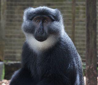 Preusss monkey Species of Old World monkey