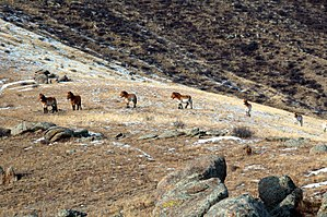 Khustain Nuruu National Park - Image: Prez Horse Hustai