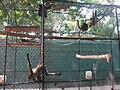 Primates Zoológico de Barranquilla.jpg