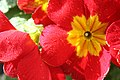 Primula Red (3260768718).jpg