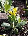 Primula auricula Pierwiosnek łyszczak 2017-04-09 01.jpg