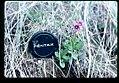 Primula cusickiana flowering in SW Idaho 3.jpg