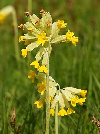 Umbel - Image: Primula veris (inflorescense)