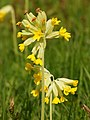 Primula veris (inflorescense).jpg