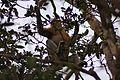 Proboscis Monkey (Nasalis larvatus) (7113335795).jpg