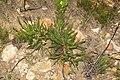 Protea tenax mr fab iNat10957356.jpg