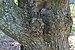 Prunus Subhirtella 'Pendula Plena Rosea' (47-284-B) Trunk Bark.JPG