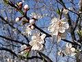 Prunus armeniaca in Donetsk.jpg