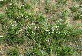 Prunus fruticosa 1.jpg