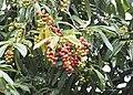 Prunus laurocerasus - Taflan, Giresun 2017-07-05 01-12.jpg