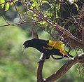 Psarocolius decumanus - Flickr - Dick Culbert (1).jpg