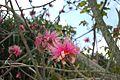 Pseudobombax ellipticum rose JB Cienfuegos.jpg