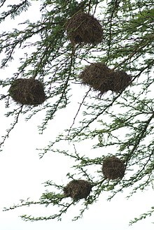 Several round birds' nests are fixed onto the smaller branches of a tree