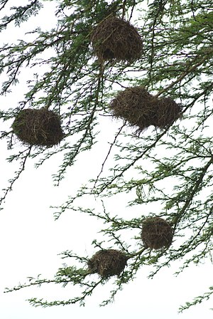 Chestnut sparrow - Image: Pseudonigrita arnaudi nests 1
