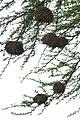 Pseudonigrita arnaudi nests1.jpg