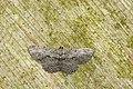 Psilalcis breta rantaizana (43601318350).jpg