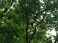 Psittacula krameriRichmondPark2.JPG