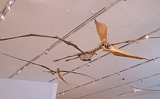 Pterosaur - Replica Geosternbergia sternbergi skeletons, female (left) and male (right)
