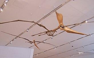 Pterosaur - Replica Geosternbergia sternbergi skeletons, female (left) and male (right)