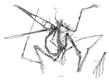 Pterodactyl drawn by Collini in 1784 Pterodactylus holotype Collini 1784.jpg