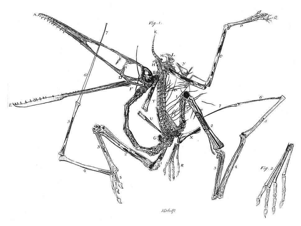 Pterodactylus holotype Collini 1784
