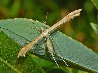 <i>Stenoptilia</i> genus of insects
