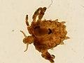Pthirus pubis (YPM IZ 093615).jpeg